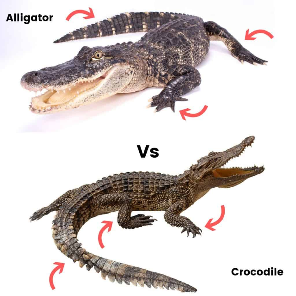 Alligator Vs Crocodile 2