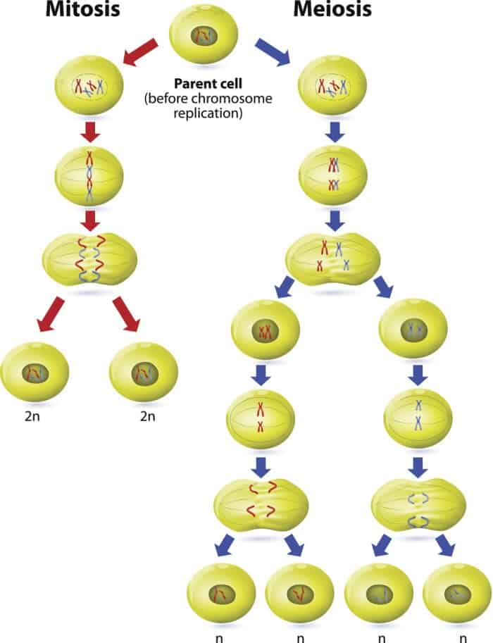 Haploid vs Diploid - Mitosis vs Meiosis