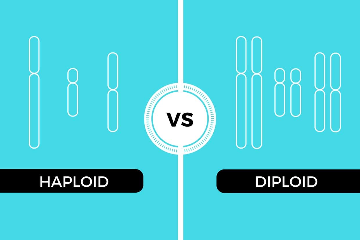 Haploid vs Diploid